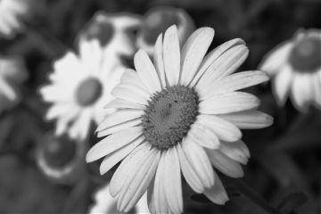 black & white flower daisy nature spring