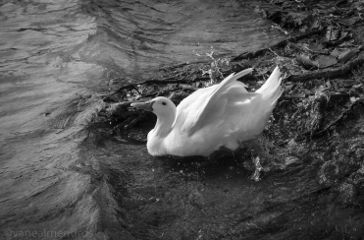 blackandwhite photography petsandanimals drops